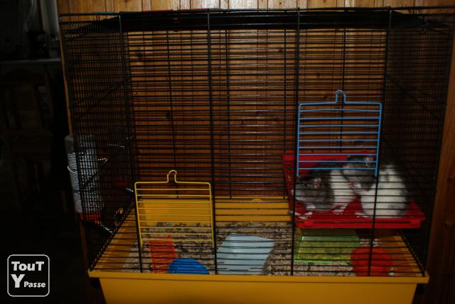 image A vendre 2 rats males + gage