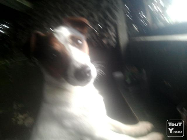 image Perdu male jack russell a tosse.recompense 1000euros
