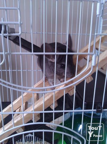 image Bebe Chinchilla Standart Male