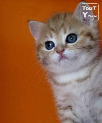 image Chatons pure race British Shorthair en Suisse