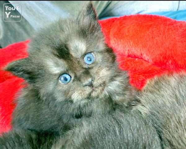 image Maine Coon