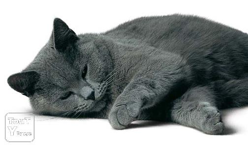 image Chatons Chartreux