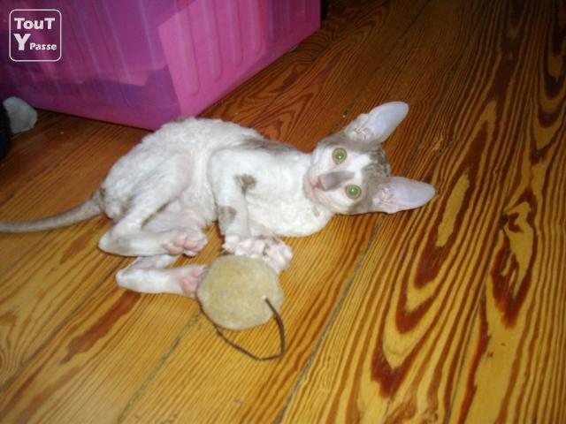 photo de 2 chatons Cornish rex à vendre