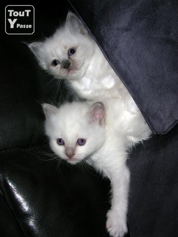 photo de 2 chatons femelles Sacré de Birmanie LOOF