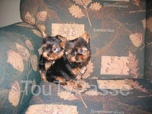 photo de 2 chiots male + femelle d'apparence Yorkshire non LOF