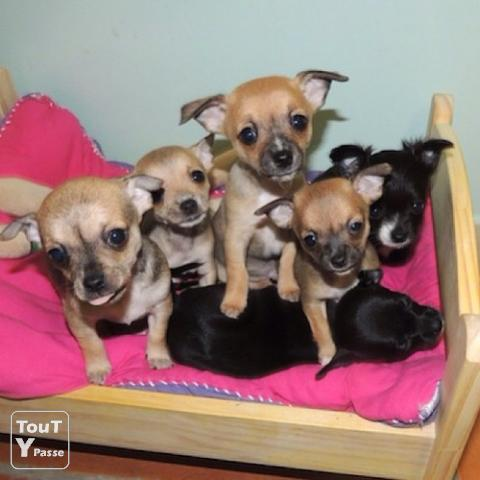 photo de 5 adorables petits chiots type chihuahua