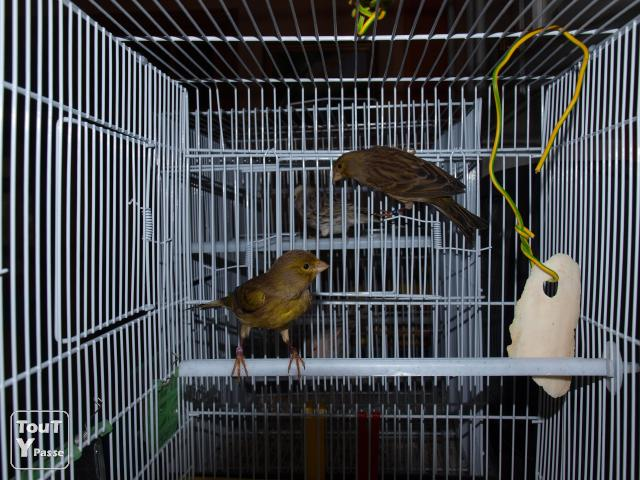 Photo a vendre canari timbrado 2010 image 1/2