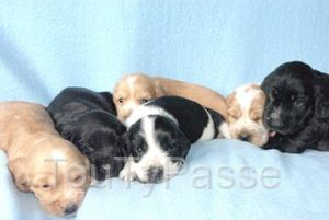photo de adorables petits chiots cockers anglais