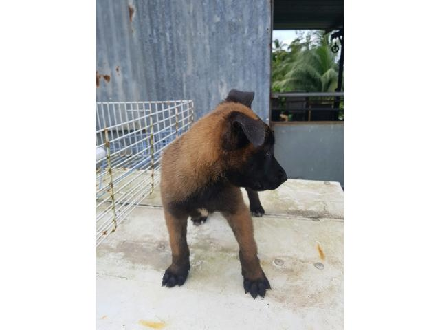 Photo berger malinois image 1/1