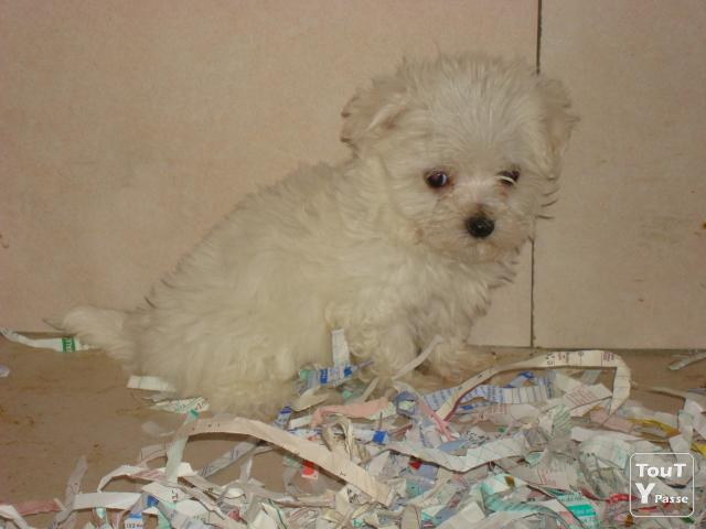Photo Bichon maltais image 1/1