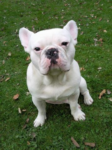 Bouledogue francais pour saillie