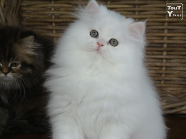 Chaton persan golden silver shaded et blanc grosse fourrure loof ou non loof - Chaton persan gratuit ...