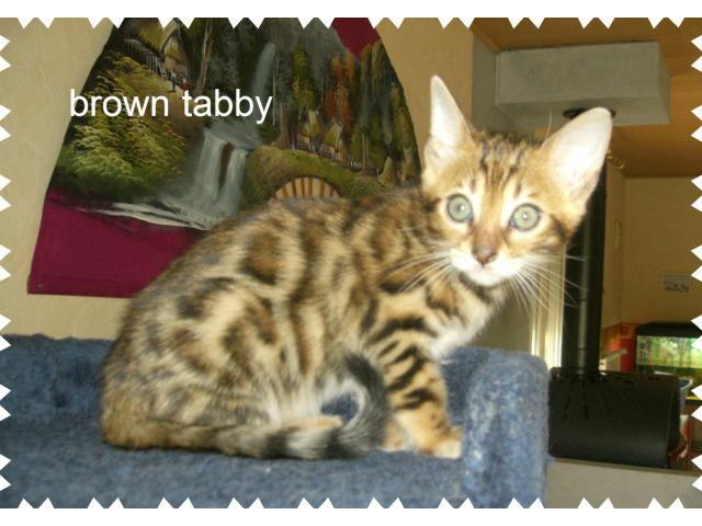 photo de CHATONS BENGAL LOOF FEMELLE BROWN ROSETTE