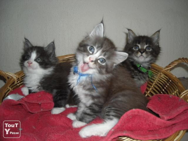 Chatons maine coon type forbach 57600 for Code postal forbach