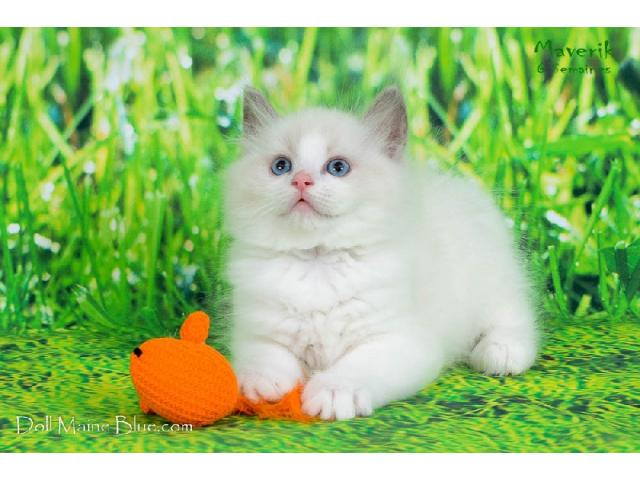 photo de CHATONS RAGDOLL DISPONIBLE A RESERVER