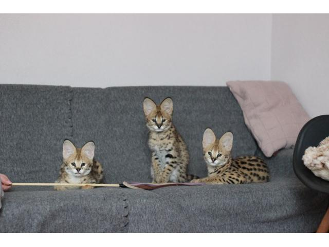 photo de chatons serval,savannah et caracal disponible