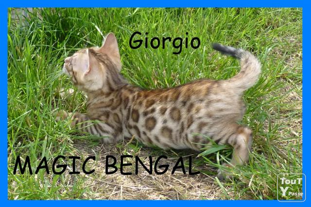 photo de Chatterie Magic Bengal