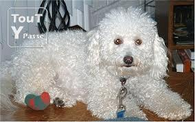 photo de Chien bichon frisé