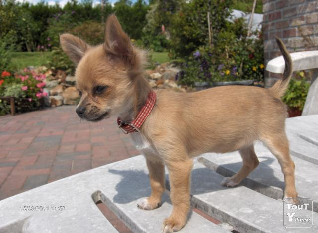 Photo Chihuahua Adulte - America's Best Lifechangers