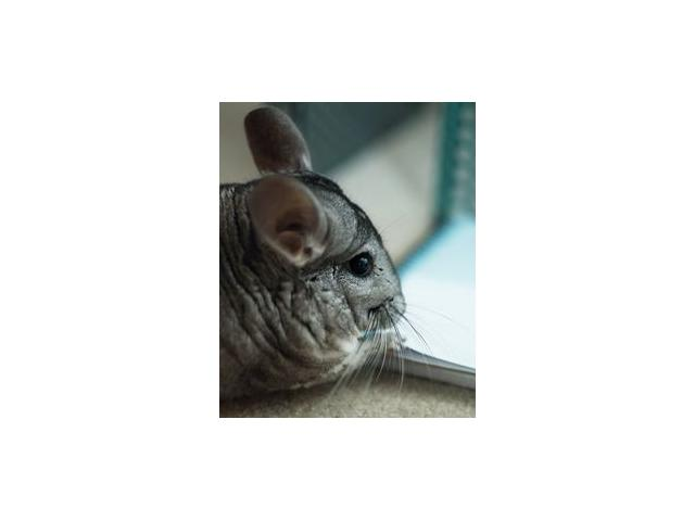 Photo chinchilla male standard a vendre image 1/1