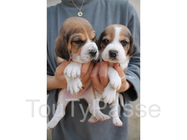 photo de Chiot Beagle LOF