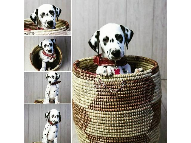 Photo CHIOT DALMATIEN LOF image 1/4