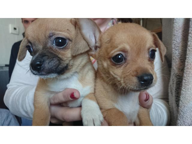 photo de chiot de type chihuahua
