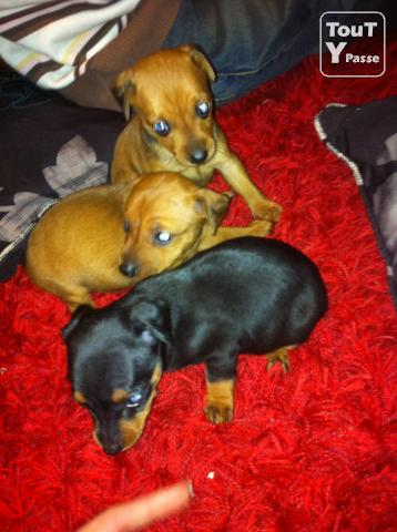 photo de Chiot pinscher nain