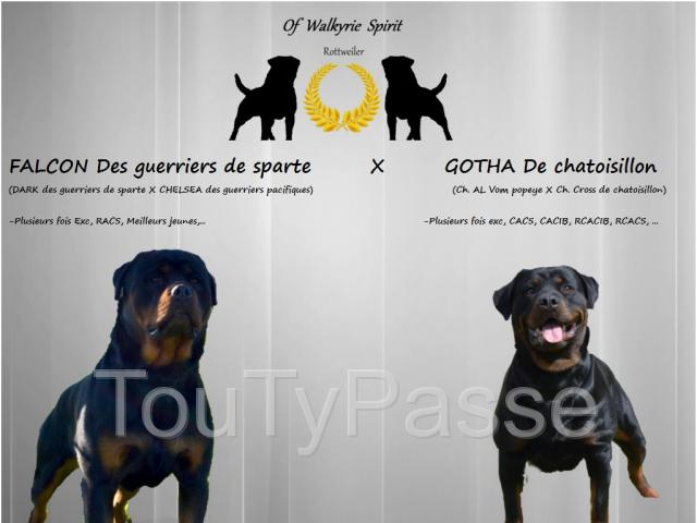 photo de chiot rottweiler LOF