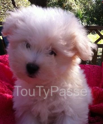 photo de Chiot type bichon maltais a donner