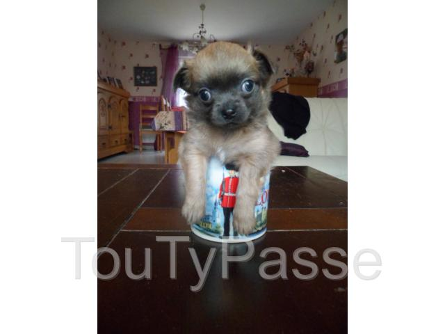 photo de chiot type chihuahua