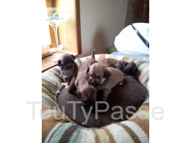 photo de chiot type lhassa apso