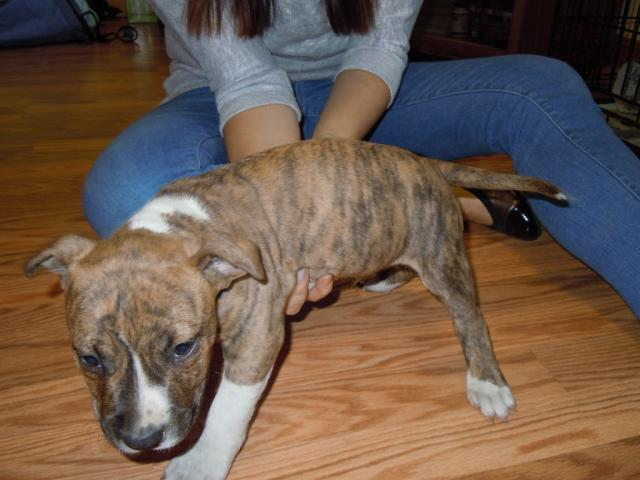 photo de chiots amstaff LOF disponible (American Staffordshire Terrier)