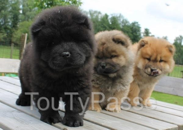 photo de Chiots Chow Chow