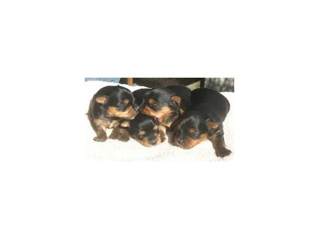 photo de chiots yorkshires disponiple