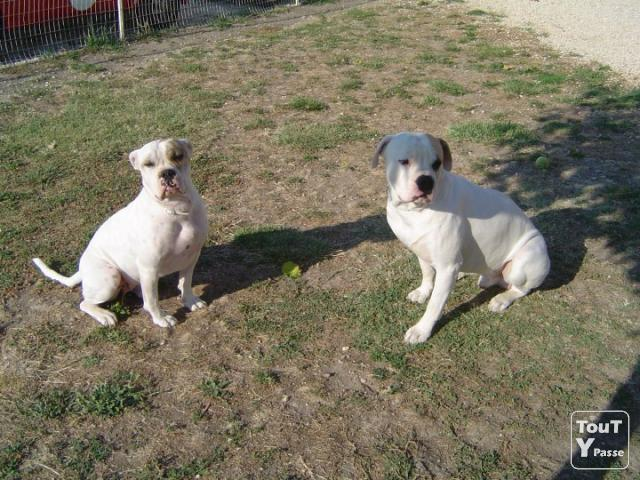 photo de Donne chiens bouledogue americain