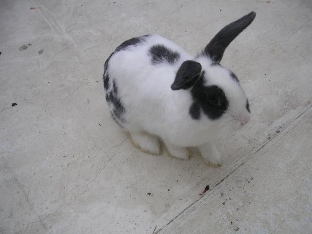 Photo Donne lapin nain blanc male image 1/1