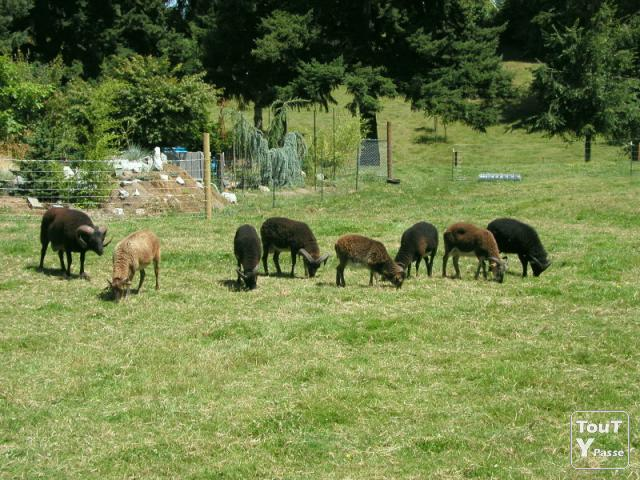 Photo Mouton Soay -Pas de tonte- image 1/1