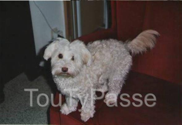 Photo Perdu Bichon croisé Yorkshire image 1/1