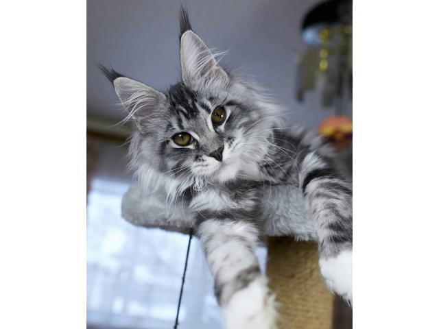 photo de Recherche Maine Coon