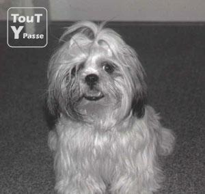Photo Shih-tzu femelle image 1/1