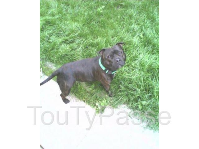 photo de Staffordshire bull terrier ou Chiots staffie LOF