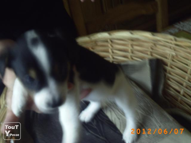 photo de Vend chiots jack  russell