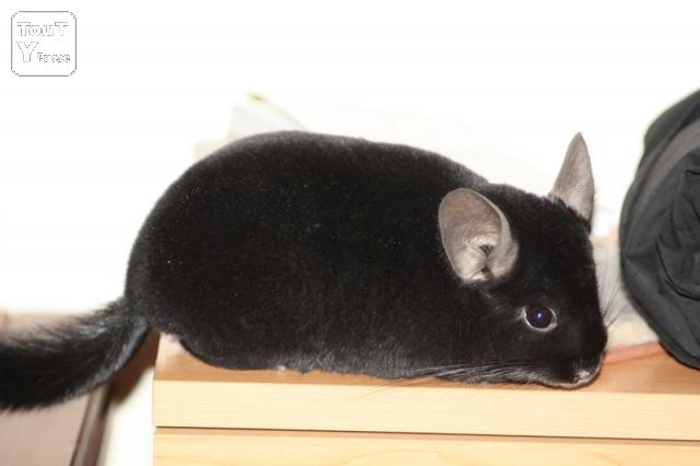 chinchilla buddhist single men Chinchilla waiting list once i have available the chinchilla that you have requested, i send email notifications to everyone who was interested.