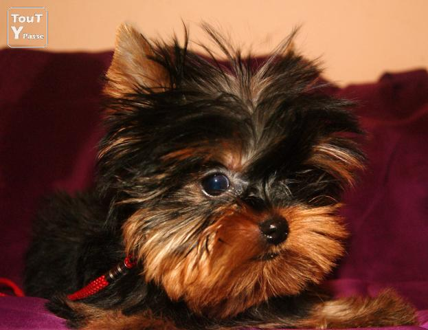 photo de Yorkshire Terriers LOF d'exception