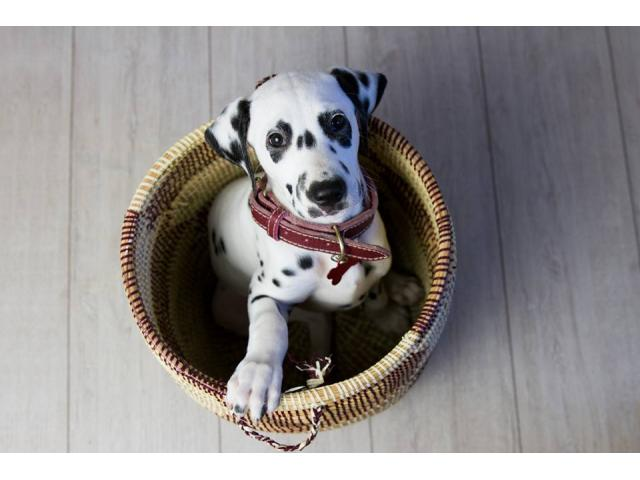 Photo CHIOT DALMATIEN LOF image 2/4