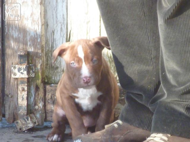CHIOTS RED NOSE PITBULL
