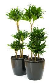 plante depolluante int ext arbre de fruit palmier pot lumineux deco. Black Bedroom Furniture Sets. Home Design Ideas