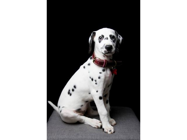 Photo CHIOT DALMATIEN LOF image 3/4