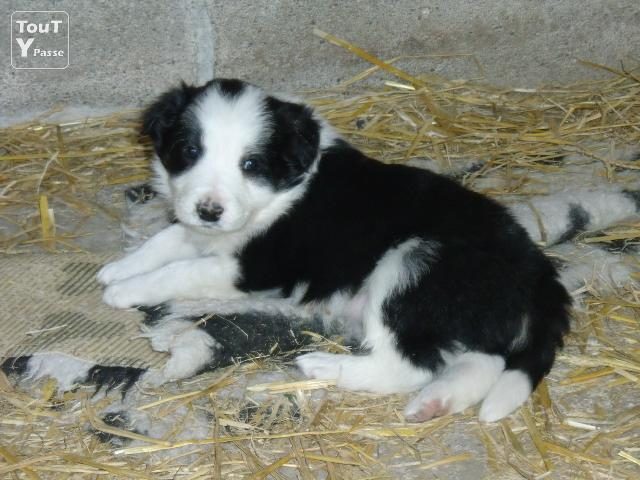 Chiots border collie a reserver angoul me 16000 for Code postal angouleme